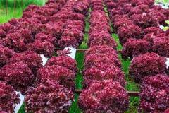 Oganic-Gemüse stockfoto