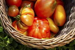 Oganic outdoor tomato Royalty Free Stock Photography