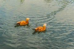 Ogar или красная утка на озере в Mezhegorie около Киева Стоковые Фото