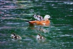 Ogar или румяное Shelduck при утята плавая в пруде Стоковые Изображения