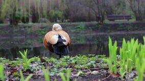 Ogar Duck On The Lake Wildlife de trama vermelho vídeos de arquivo