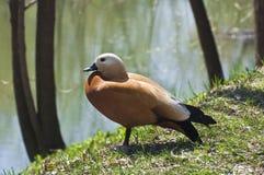 Ogar oder rote Ente Lizenzfreies Stockfoto