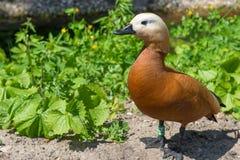 Ogar ou pato vermelho Fotografia de Stock
