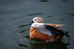 Ogar, or red duck Latin Tadorna ferruginea — a waterfowl of family duck, related to a peganka. Orange-brown plumage is characteristic, at the same time royalty free stock image