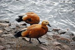 Ogar, or red duck Latin Tadorna ferruginea — a waterfowl of family duck, related to a peganka. Orange-brown plumage is characteristic, at the same time stock image