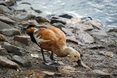 Ogar, or red duck Latin Tadorna ferruginea — a waterfowl of family duck, related to a peganka. Orange-brown plumage is characteristic, at the same time royalty free stock photos