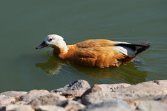 Ogar or red duck, Tadorna ferruginea Royalty Free Stock Images