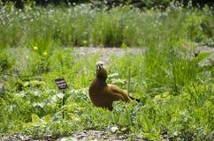 Ogar w ogródzie Obrazy Royalty Free