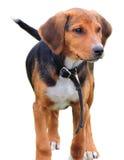 Ogara pies, beagle zdjęcie stock