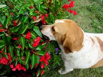 Ogara pies bierze czas wąchać kwiaty zdjęcie royalty free