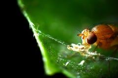 Ogen van een fruitvlieg Stock Foto