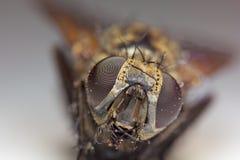 Ogen van een hooverfly Royalty-vrije Stock Foto
