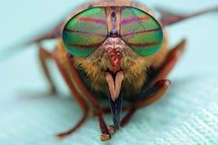 Ogen van een insect Portretpaardevlieg Hybomitra royalty-vrije stock afbeelding