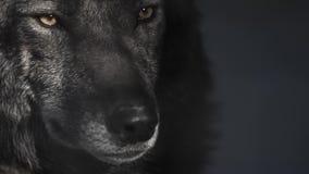Ogen van een zwarte wolf achter de tralies stock video