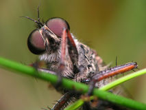 Ogen van het insect Stock Foto