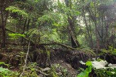 Ogenomträngliga busksnår i gammal skog royaltyfri bild