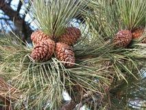 Oggetto del pino Cones Immagine Stock Libera da Diritti