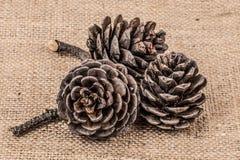 Oggetto del pino Cones Immagini Stock Libere da Diritti