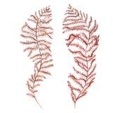 Oggetto di vita di mare dell'alga isolato su fondo bianco Illustrazione dipinta disegnata a mano dell'acquerello Acquerello subac royalty illustrazione gratis