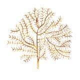 Oggetto di vita di mare dell'alga su fondo bianco Illustrazione dipinta disegnata a mano dell'acquerello Acquerello subacqueo royalty illustrazione gratis