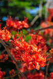 Ogień Pakistan kwiatu okwitnięcie Obraz Royalty Free