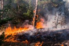 ogień pożar przy zmierzchem, płonący sosnowy las w dymu i płomienie, obrazy royalty free