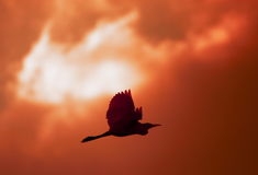 ogień ptaka Fotografia Royalty Free