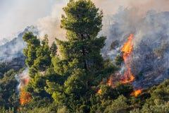 Ogień w sosnowym lesie w Kassandra, obrazy royalty free