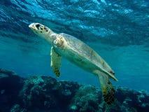Ogiltig Hawksbill sköldpadda Royaltyfri Foto