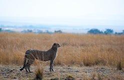 oglądanie geparda Fotografia Royalty Free