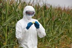 OGM - mazorca de maíz de examen del ingeniero de la biotecnología en campo fotos de archivo