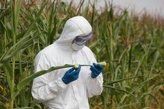 OGM - mazorca de maíz de examen del ingeniero de la biotecnología en campo imágenes de archivo libres de regalías