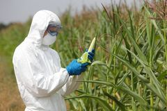 OGM, profesional en mazorca de maíz de examen uniforme en campo Imagen de archivo libre de regalías