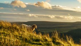 Ogmore Valley, Wales, UK. A sheep in the evening sun near Treorchy, overlooking the Ogmore Valley in Rhondda Cynon Taf, Mid Glamorgan, Wales, UK royalty free stock photos