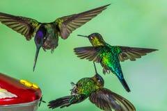 Ogniści Throated Hummingbirds obraz stock