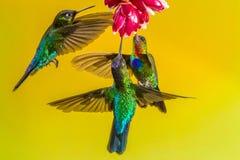 Ogniści Throated Hummingbirds fotografia stock