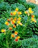 Ogniści kaktusów kwiaty Zdjęcia Stock