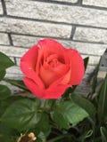 Ogni Rosa ha sue spine fotografia stock