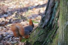 Ognista czerwona wiewiórka, czerwony ogon, ognisty ogon Zdjęcie Stock