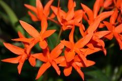 ogniste orchidee Zdjęcie Stock