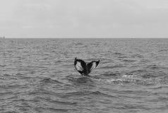 Ogonów żebra nurkowy humpback zdjęcie royalty free