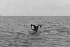 Ogonów żebra nurkowy humpback obraz stock