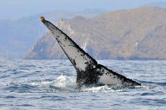 Ogon humpback wieloryb obrazy stock