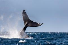 Ogon humpback wieloryb fotografia stock