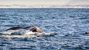 Ogon humpback wieloryb podnoszący nad poziom wody, Monte fotografia royalty free