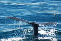 Ogon humpback wieloryb obraz royalty free
