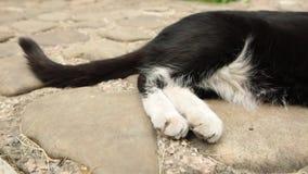 Ogon i łapy gnuśny czarny i biały kot odpoczywa na brukowych kamieniach zdjęcie wideo