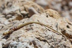 Ogon jaszczurka na kamieniu Obraz Stock