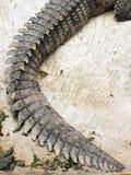 Ogon Nil krokodyl fotografia stock