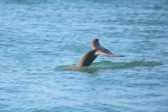 Ogon nurkowy Pospolity bottlenose delfin Zdjęcia Royalty Free